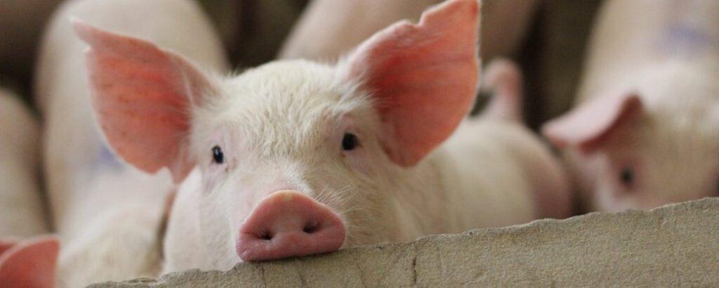 На Харківщині зафіксовано випадок африканської чуми свиней