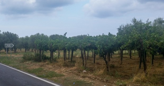 The vegetation changes with vines and olive growth being everywhere.