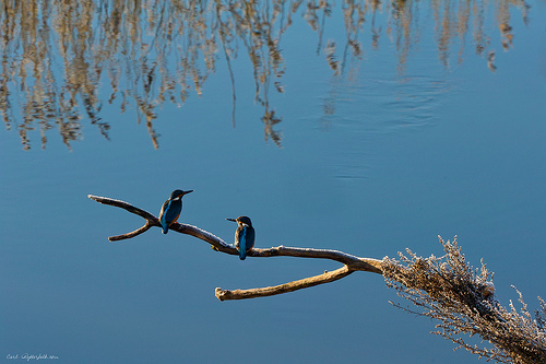 Kingfisher Nol, Sweden - only one in reality.