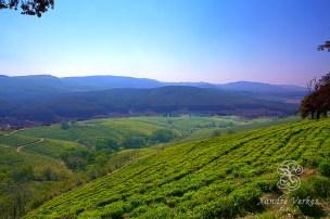 View over the Pekoe Tea Plantation!