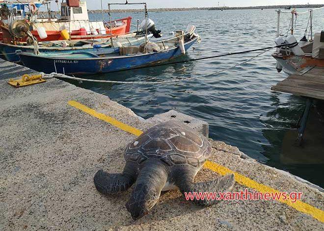 Νεκρή χελώνα Καρέτα – Καρέτα στο λιμάνι των Αβδήρων