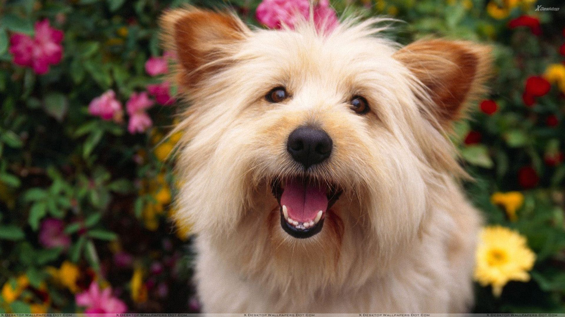 terrier cute white dog wallpaper
