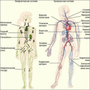 Лимфна система и кръвоносна система