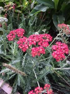 Achillea millefolium 'Pretty Lady' xera plants