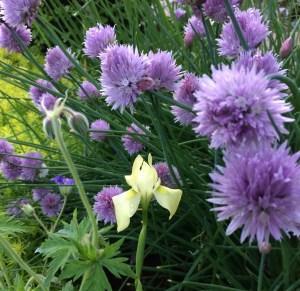 Allium schanoprasm xera plants