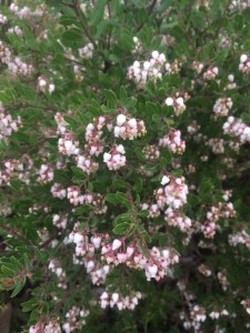 Arctostaphylos x 'White Lanterns' xera plants