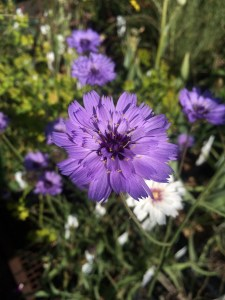 Catananche caerulea xera plants