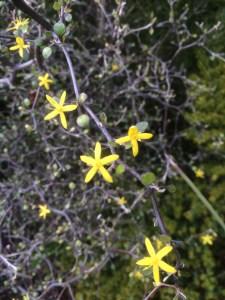 Corokia cotoneaster xera plants