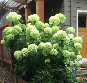 Hydrangea arborescens 'Annabelle' xera plants
