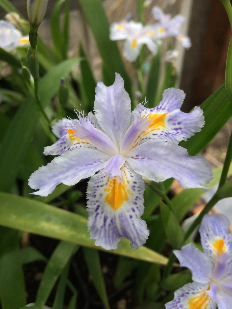 Iris Japonica Eco Easter Xera Plants