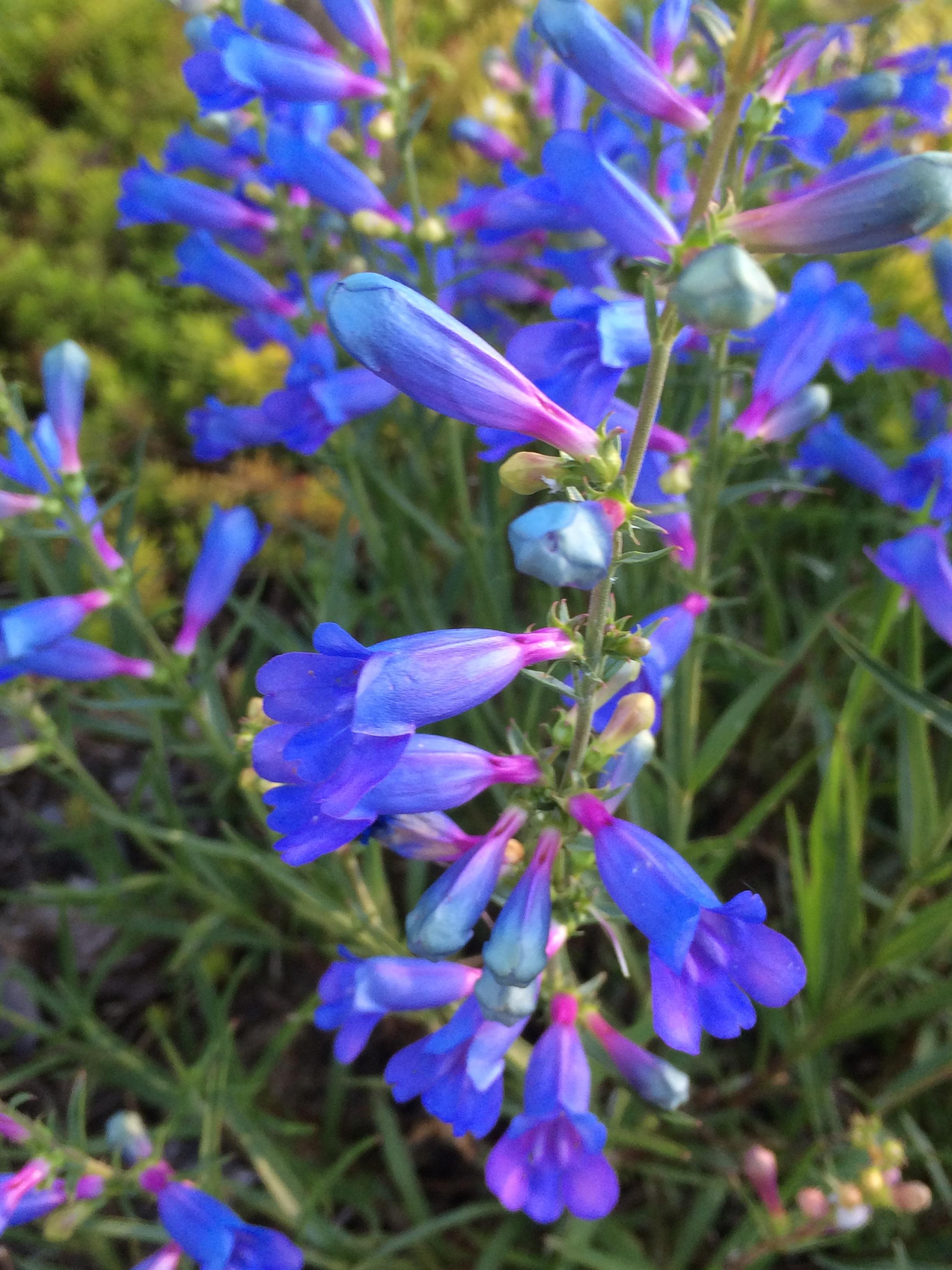 Penstemon Heterophyllus Electric Blue Xera Plants