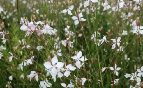 Gaura lindheimeri xera plants so so many new cultivars of this easy to grow free flowering perennial and you know what some of them dont even bloom that well and the color pinka mightylinksfo