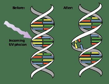 DNA_UV_mutation.svg