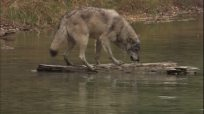 974920231-log-wood-wolf-montana-wet