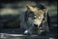 wolf-sleep-133083