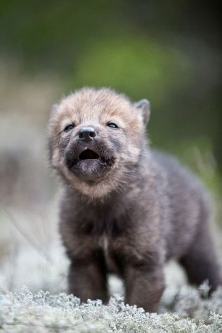 wolf-pup-cute-animals-pictures-pics