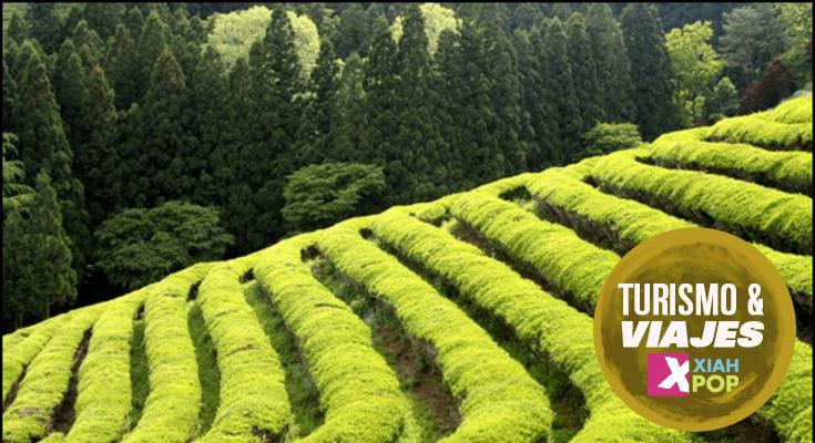 ¡El festival de té verde más grande de Corea: el festival de Boseong!