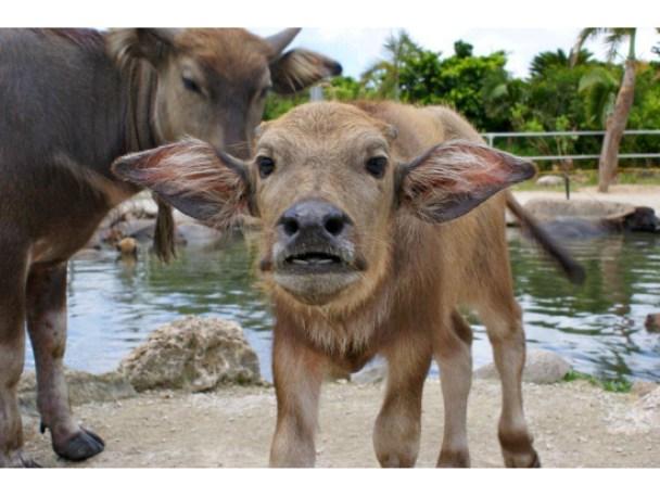 Búfalo acuático bebé en Yubujima. Cr: Veltra