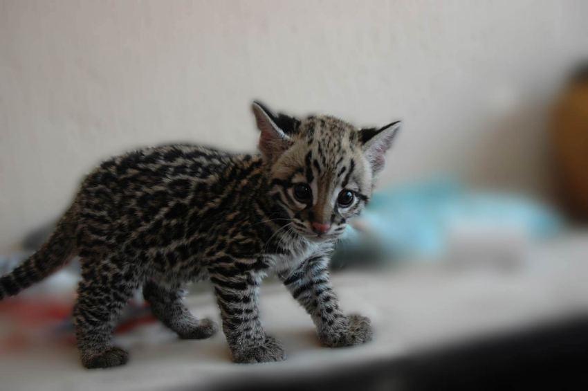Gato salvaje de Iriomote. ¡Necesito uno en mi vida aunque crezca y me coma!. Cr: kimcampion