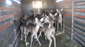 Deer in the trailer
