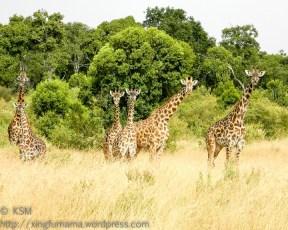 Giraffes are the Masai Mara Neighborhood Watch