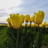 KSM-20160408-Tulip_Day-18