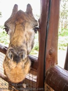 20110327-KSM-Giraffes