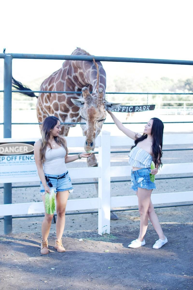 Feeding stanley the giraffe