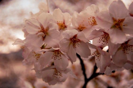 Hanami en Japón - flor del cerezo