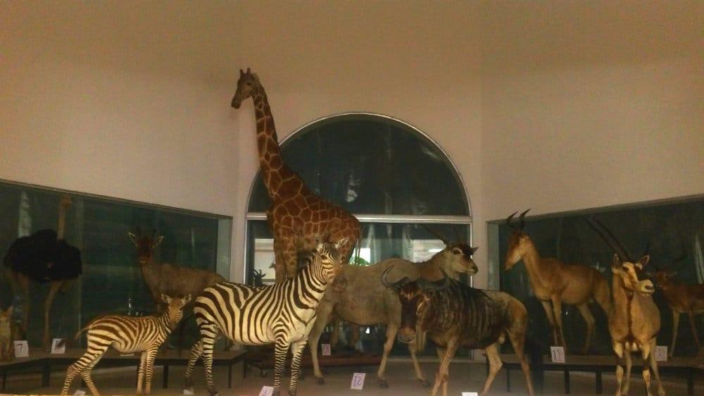 Exposición de la sabana africana en el museo de las ciencias de Caracas