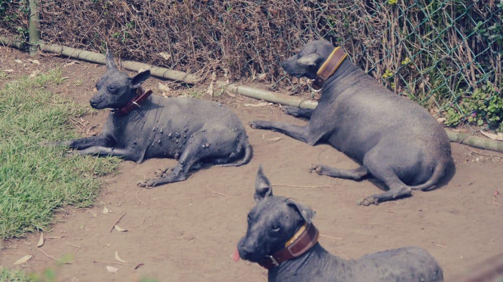 Perros xoloitcuintles - Museo Dolores Olmedo, Ciudad de México