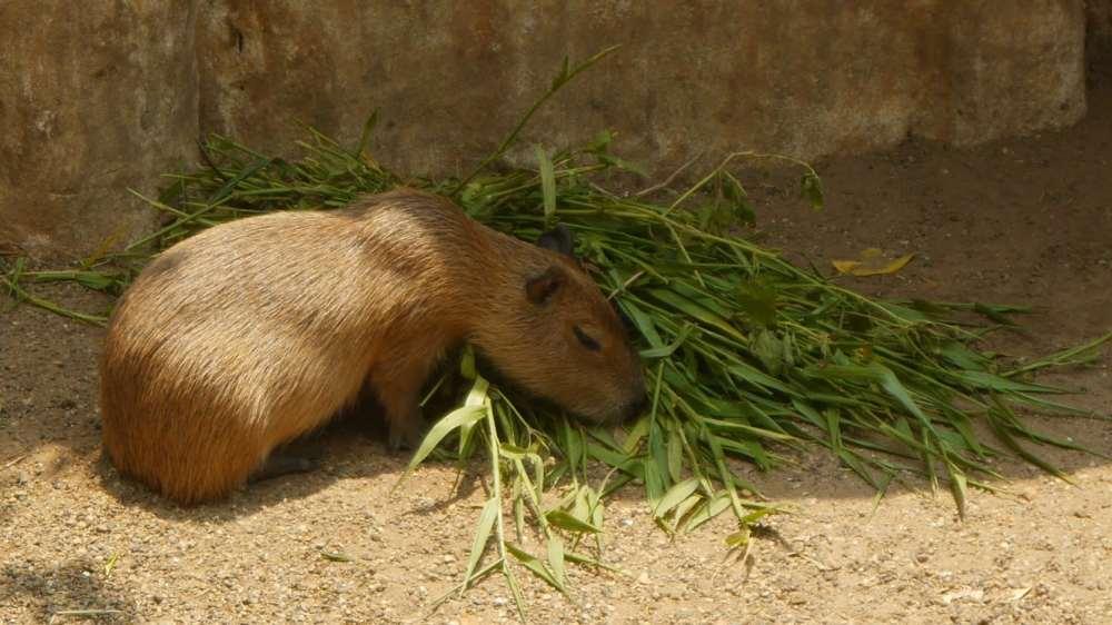 Capibara en el zoo de Barranquilla