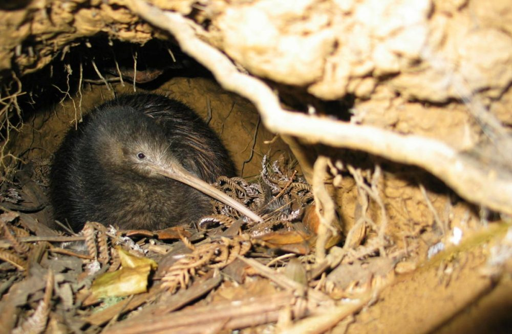 Kiwis  en su hábitat Trounson Kauri Park