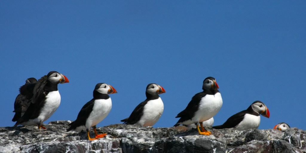 Atlantic puffins (<i>Fratercula arctica</i>). Farne Islands, Northumberland