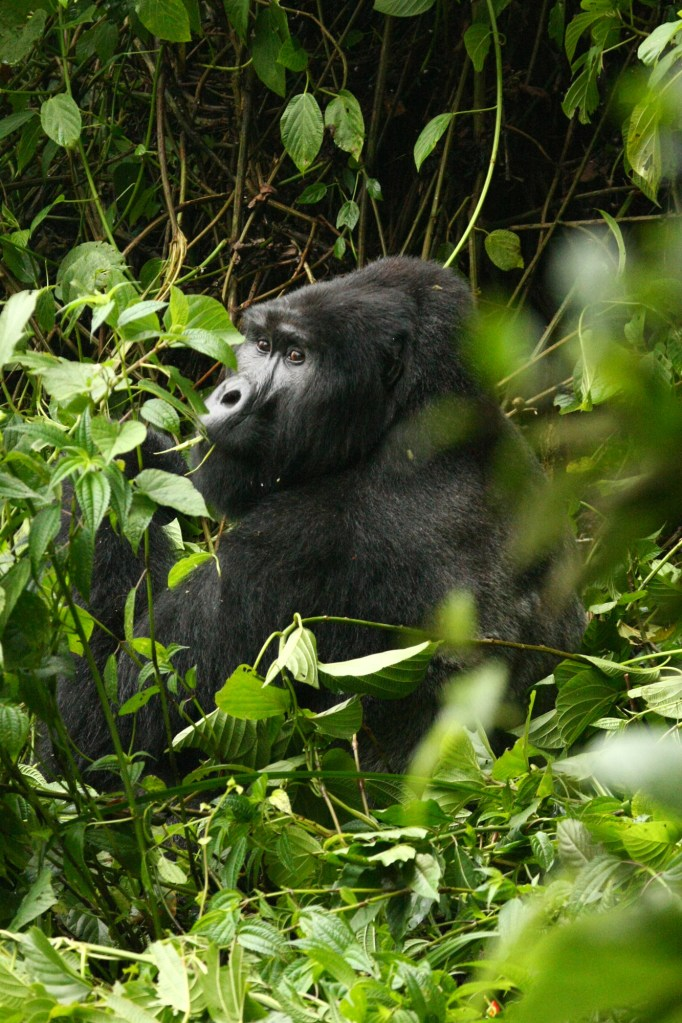 Mountain gorilla (<i>Gorilla beringei beringei</i>). Bwindi Impenetrable Forest National Park, Uganda
