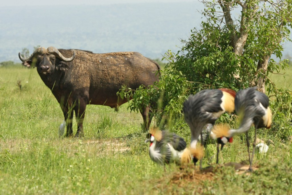 Cape buffalo (<i>Syncerus caffer</i>) and east African crowned cranes (<i>Balearica regulorum</i>). Murchison Falls National Park, Uganda