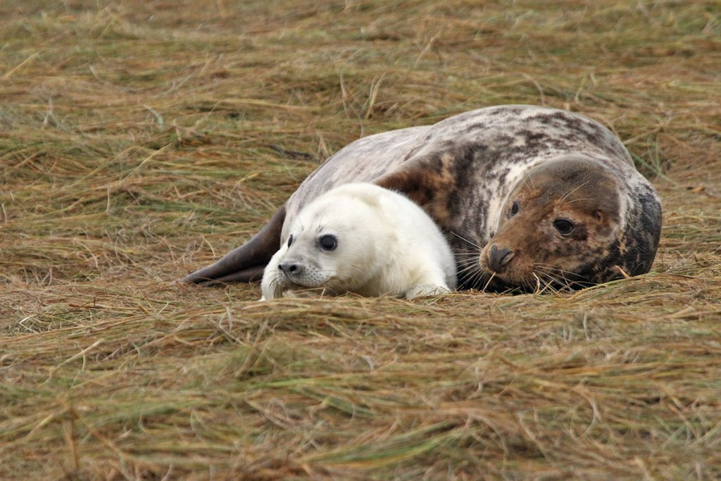 Grey seals (<i>Halichoerus grypus</i>). Donna Nook, Lincolnshire