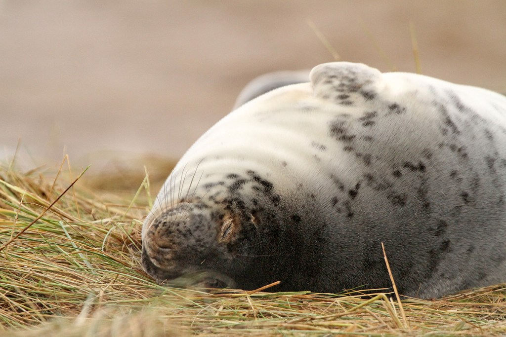 Grey seal (<i>Halichoerus grypus</i>). Donna Nook, Lincolnshire