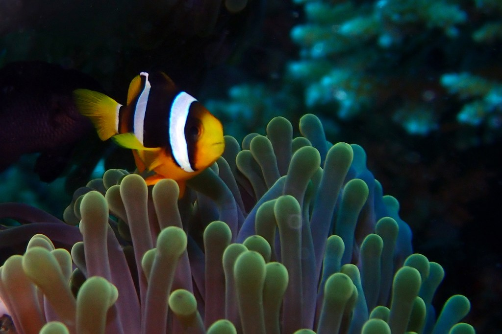 Clark's anemonefish (<i>Amphiprion clarkii</>). Maldives.