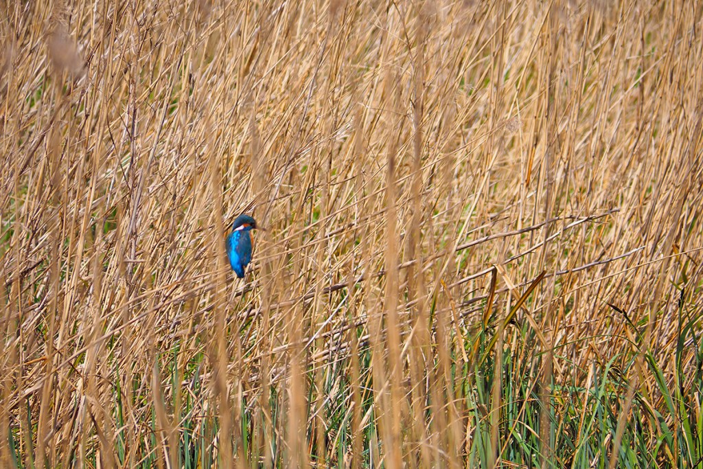 Kingfisher (<i>Eurasian kingfisher</i>). Norfolk Broads, Norfolk