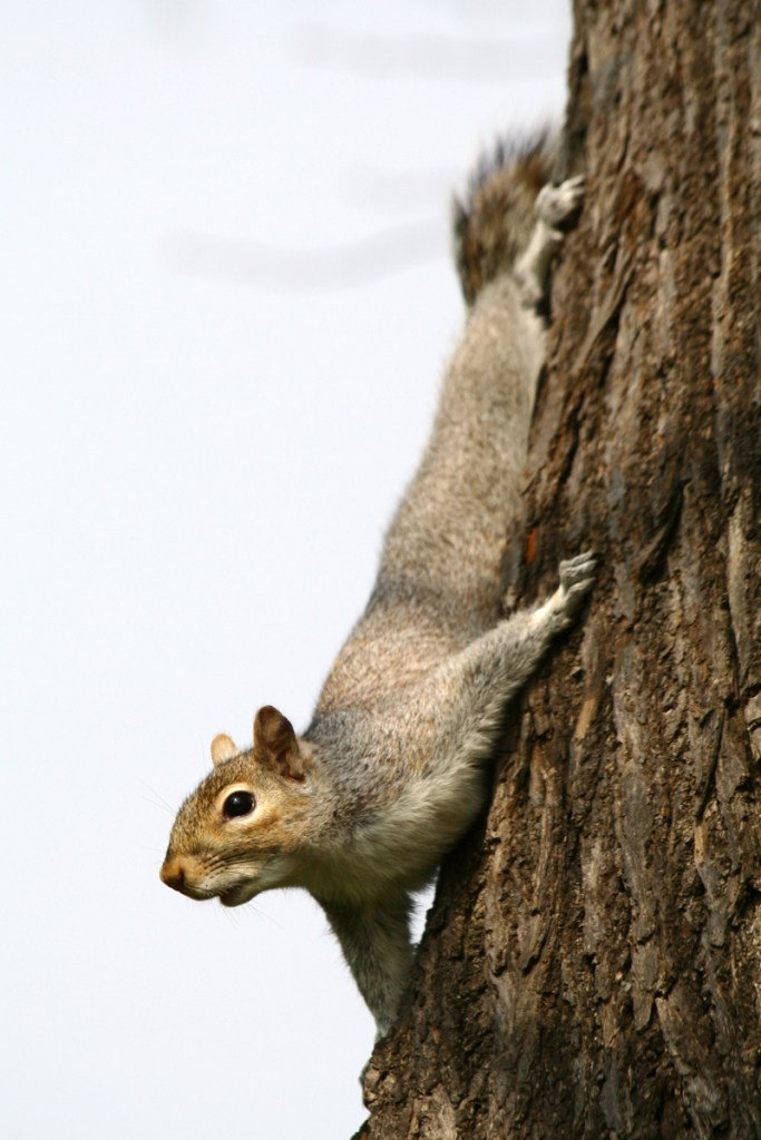 Grey squirrel (<i>Sciurus carolinensis</i>). Hyde Park, London