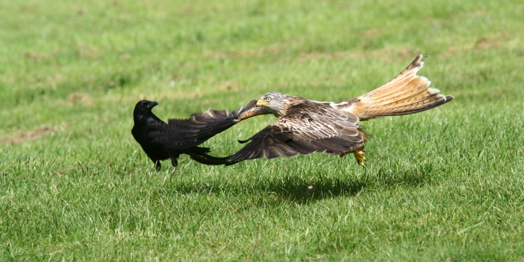 A crow (<i>Corvus corone</i>) watches a red kite (<i>Milvus milvus</i>) fly by. Elan Valley, Wales