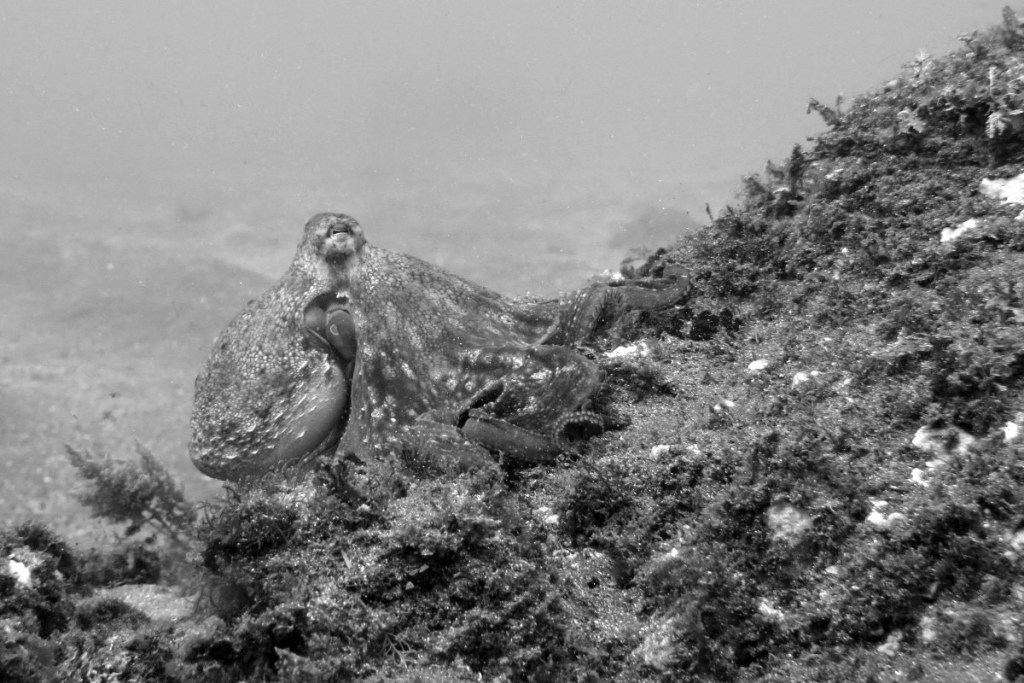 Octopus. Azores, Portugal