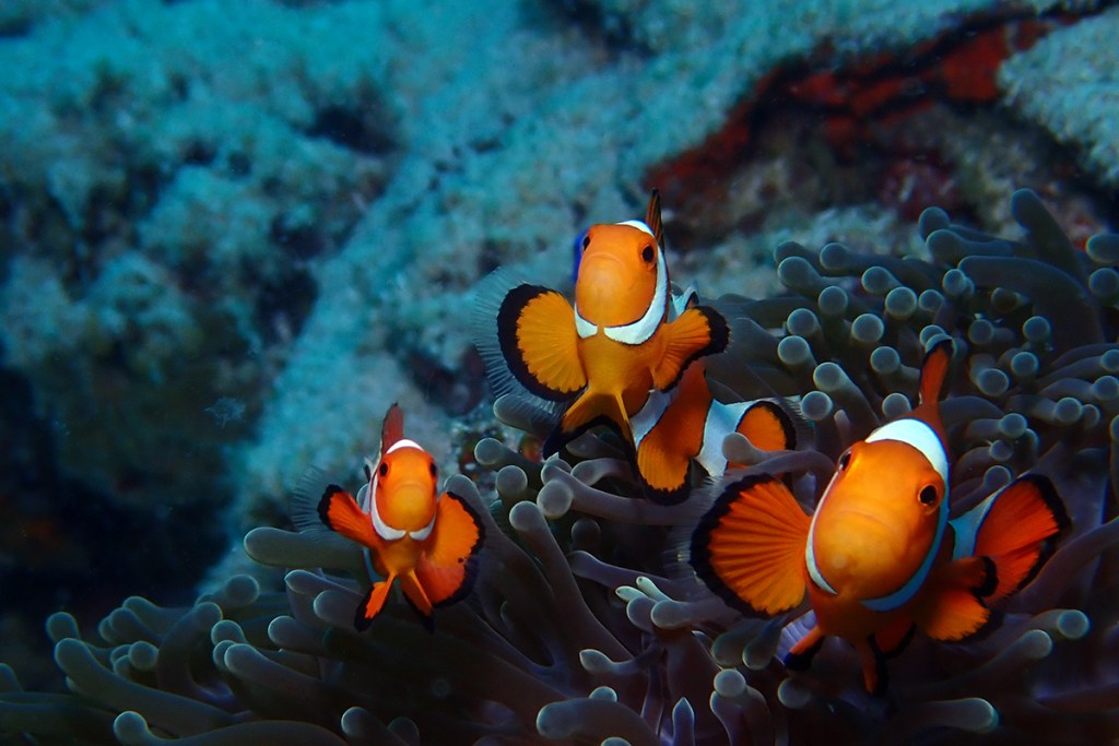A family of Western Clown Anemonefish (<i>Amphiprion ocellaris</i>). Moalboal, Philippines
