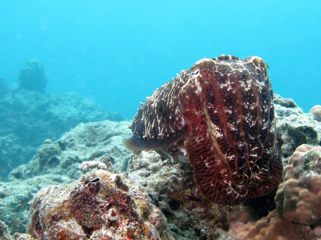 Broadclub cuttlefish (<i>Sepia latimanus</i>). Ishigaki, Japan