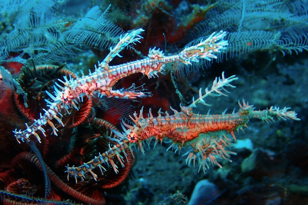 Ornate ghost pipefish (<i>Solenostomus paradoxus</i>). Amed, Bali, Indonesia.