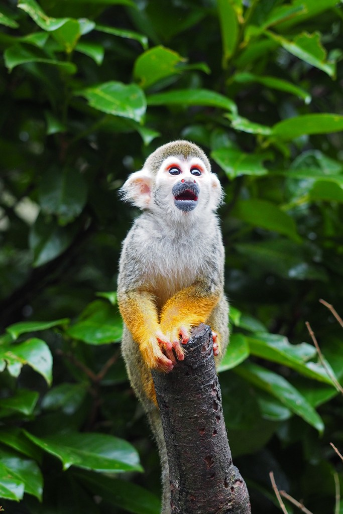 Squirrel monkey (<i> Saimiri sp.</i>), Nagasaki Biopark, Japan