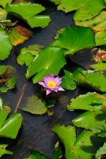 The national flower @ Handunugoda Tea Estate