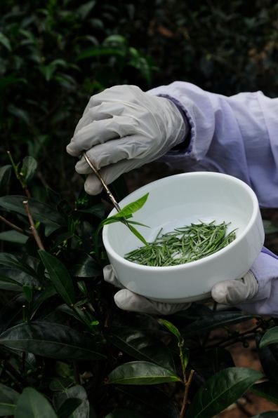 Tea harvesting @ Handunugoda Tea Estate