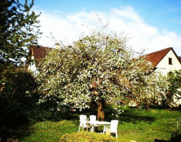 По соседству с яблоней посейте укроп